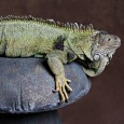 Meet Igor, the Green Iguana – I am not sure how old Igor is, I got him from a pet store where everyone was afraid of him.  I really do not...