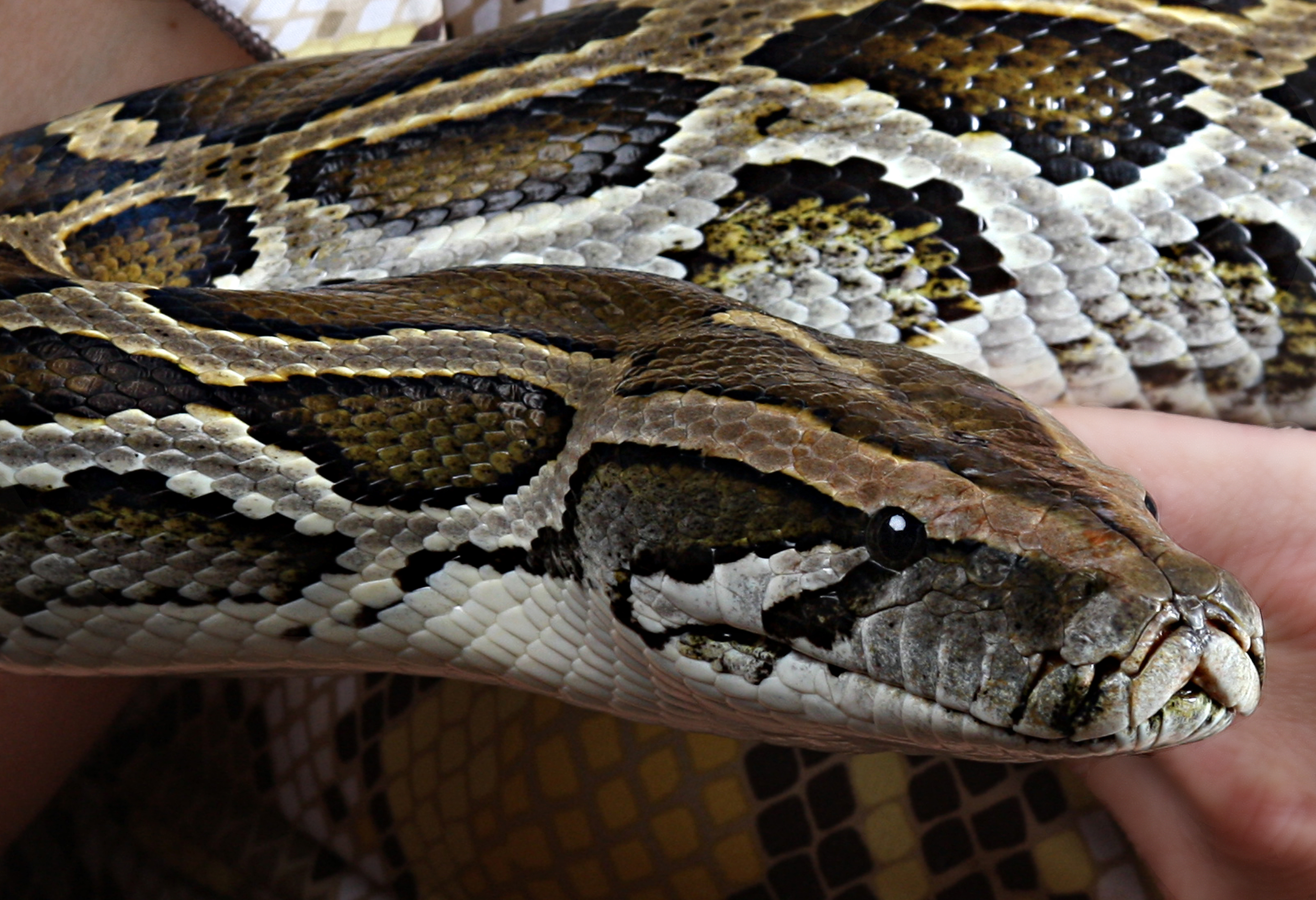 Sweet Pea – Burmese Python. Very sweet gentle giant. She has been through a lot and still very sweet natured.